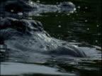 Alligators jostle and splash in lake, Florida