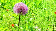 Allium purple