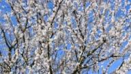 Almond blossom in spring, Heppenheim, Hesse, Germany