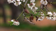 Almond blossom, Majorca, Balearic Islands, Spain