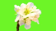 Almond flower blooming against chroma key background in a time lapse