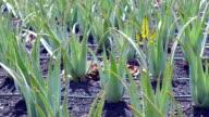Aloe vera farm - Fuerteventura
