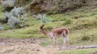 MS Alpaca eating grass / Cuzco or Cusco, Peru