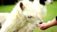 alpaca feed