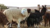 alpaca (Vicugna pacos) in a farm in the desert