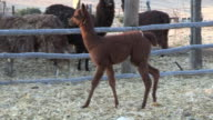 alpaca (Vicugna pacos)- young one