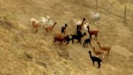 MS AERIAL Alpacas and sheep dog on alpaca farm / Oregon, United States