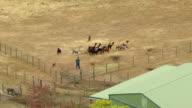 MS AERIAL DS Alpacas and sheep dog on alpaca farm / Oregon, United States
