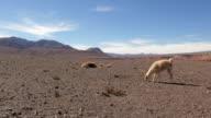 Alpacas feeding in the desert of Atacama