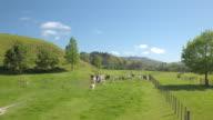Alpacas in a fenced paddock