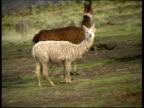 Alpacas in a village, MS, Peru