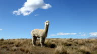 alpacas on pasture in blue sky