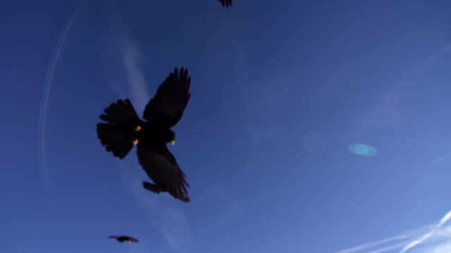Alpine chough flying over the camera