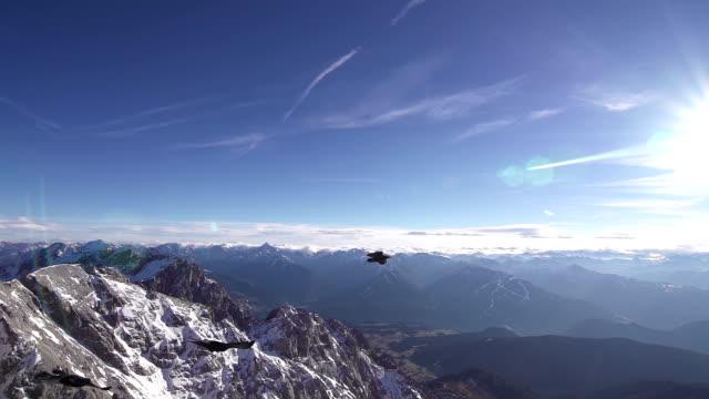 Alpine Choughs