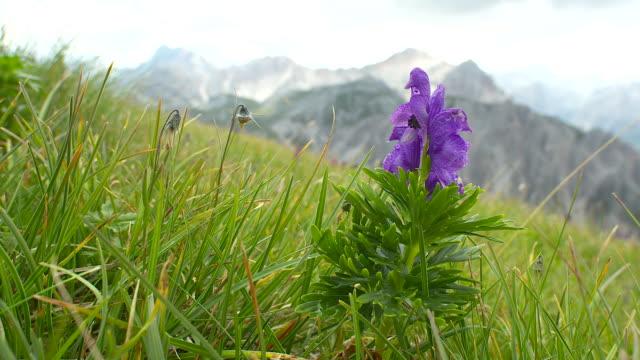 Alpine meadow closeup, Dolomites