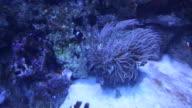 Alseund, the aquarium, Clown fish