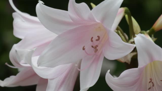 Amaryllis in bloom closeup