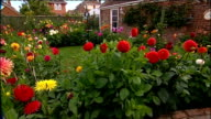 Amateur gardener raises money for charity GVs of Dahlia flowers in garden Reporter to camera Close Shot of dahlia flowers