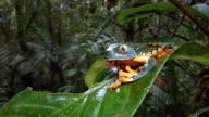 Amazon Leaf Frog (Cruziohyla craspedopus) on a leaf in the rainforest understory, Ecuador