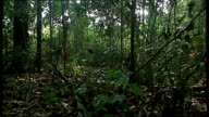 The Amazon Basin Amazonas EXT Good shots of undergrowth of rainforest as birds heard singing in background / Close shot of palm leaf frond / Very...