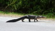 American Alligator on land