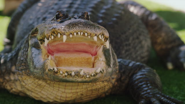 American alligator sits on grass with open mouth - teeth, eyes and scales are clearly seen in close-up.