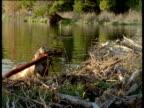 American beaver hauls log out of lake and onto its dam, Montana