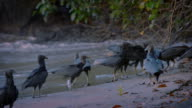 American black vultures (Coragyps atratus) land on the shoreline of a beach in the South Caribbean Autonomous Region (RACS) in Nicaragua.