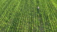 AERIAL American farmer walking among corn