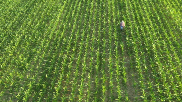 AERIAL American farmer walking among corn