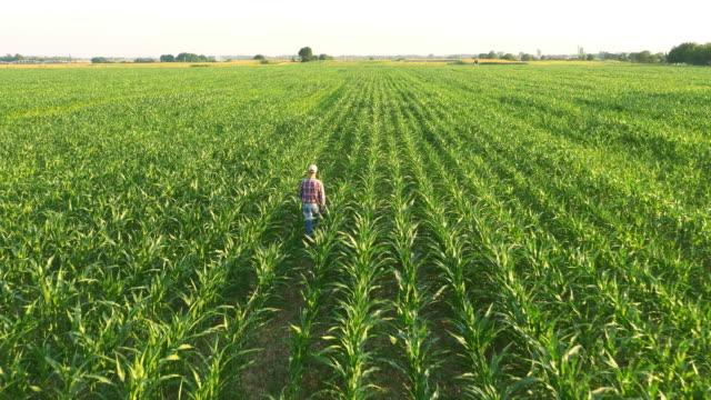 AERIAL American farmer promenader i sädesfält