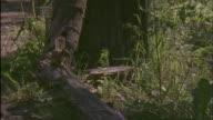 American marten chases grey squirrel, Montana, USA