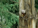 American marten (Martes americana) emerges from hole in pine tree trunk, Montana, USA