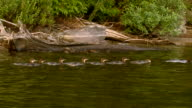 MS TS American merganser and family swimming by shore / Algonquin Provincial park, Ontario, Canada