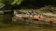 MS ZO American merganser with family come down to log / Algonquin Provincial park, Ontario, Canada