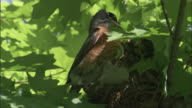 American robin feeds chicks in nest, Indiana, USA
