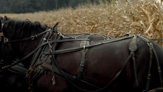 PAN, ZO, WS, Amish farmer harvesting corn with horse drawn wagon, rear view, Nappanee, Indiana, USA