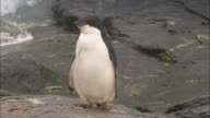 An Adelie penguins surveys its surroundings on Signy Island.