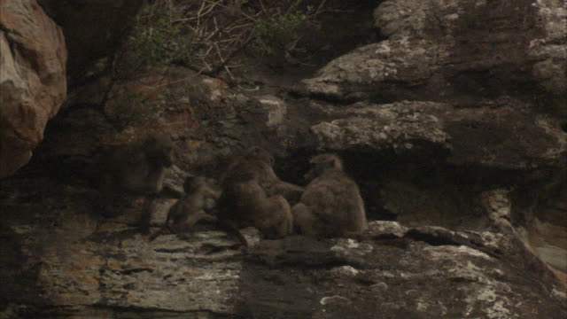 An adult baboon keeps a rambunctious youngster in check. Available in HD