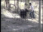 / an adult black bear attacks his trainer at the wildlife preserve near Chama New Mexico after the trainer hits him on the nose / man goes into bear...