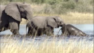 An adult elephant guides calves across a watering hole. Available in HD.
