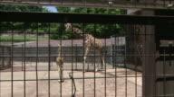 An adult giraffe nuzzles a calf as it walks across their cage.