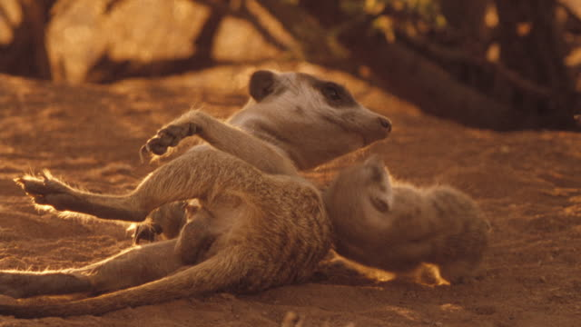 An adult meerkat and its pup lie on the ground. Available in HD.