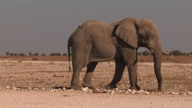 An African elephant lumbers across the open desert. Available in HD.