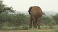 An African elephant uses its trunk and front legs to tear up grass to eat.