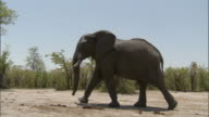 An African elephant walks across dry ground near tall grasses. Available in HD.
