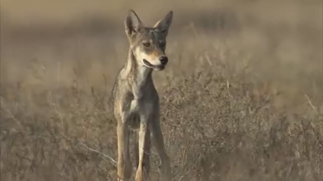 An alert Indian wolf looking its surroundings in Eastern Rajasthan before running out of shot