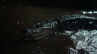 An alligator opens its mouth and thrashes around in the shallows of a swamp.