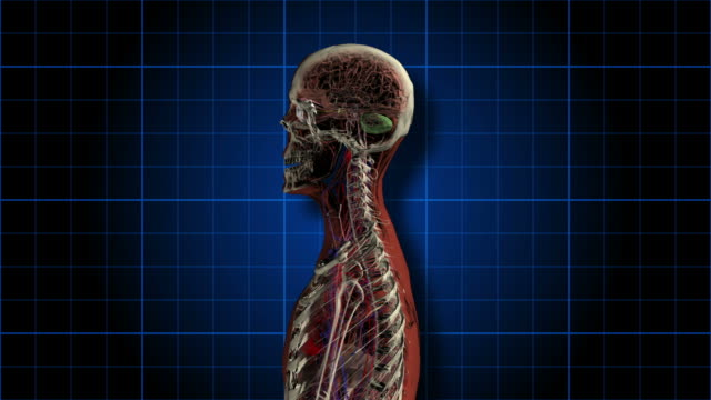 An Anatomical Man Rotates Showing Skeleton And Organs Vídeo de stock ...