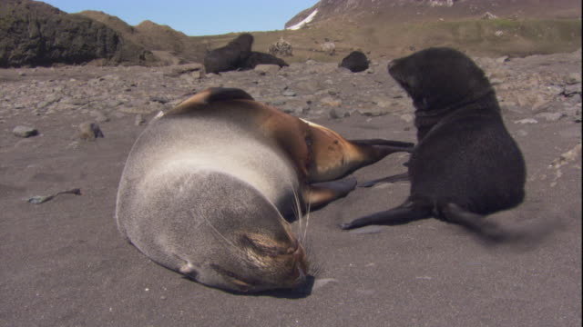 An Antarctic fur seal and its pup rest on a beach. Available in HD.